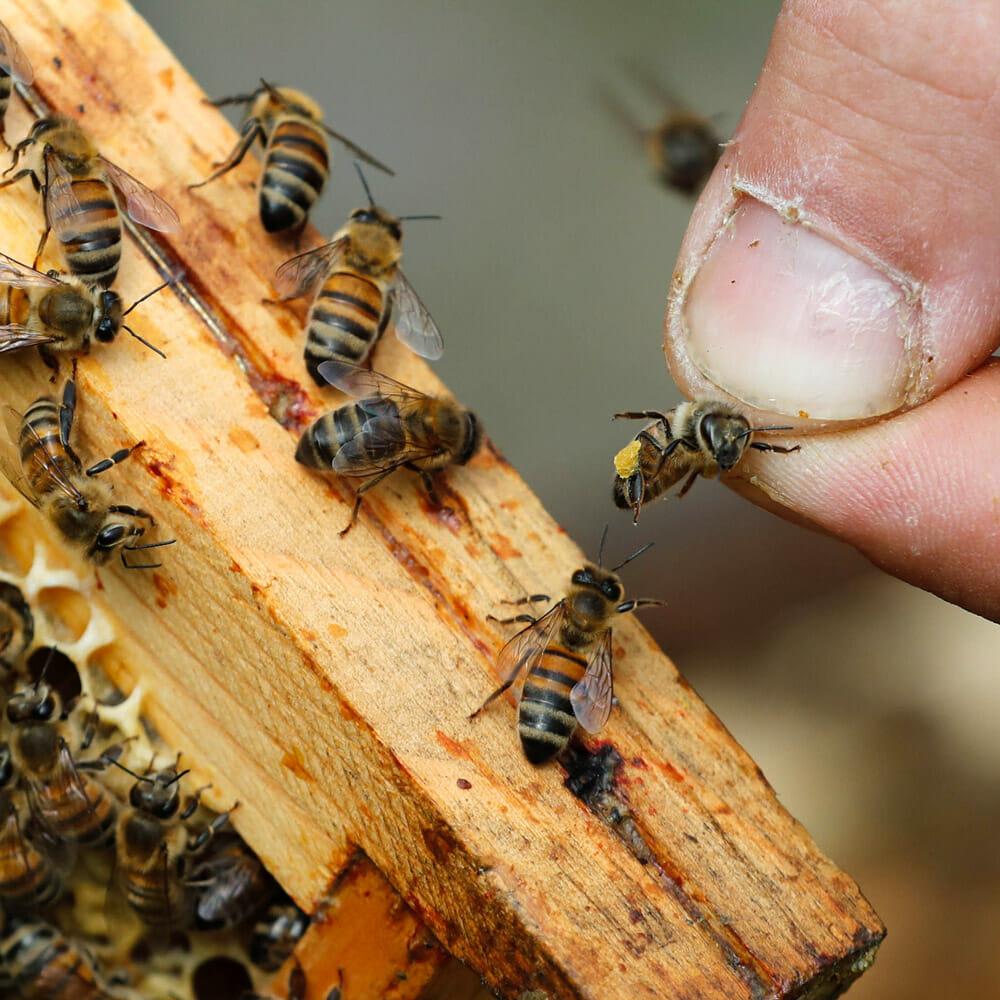 Est-ce une butineuse de miel bio ?